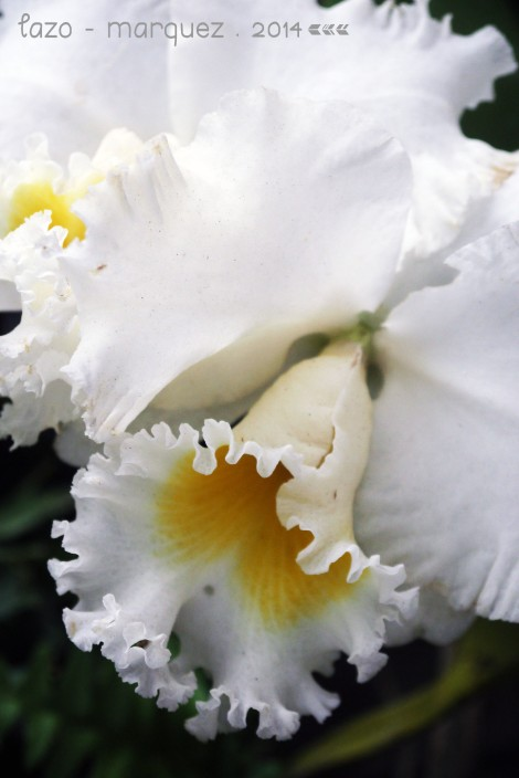Cattleya sp._