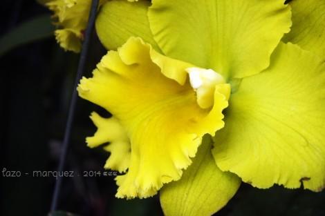 Cattleya sp.____