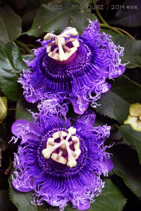 Passiflora x alatocaerulea_