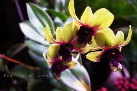 Phalaenopsis sp. _